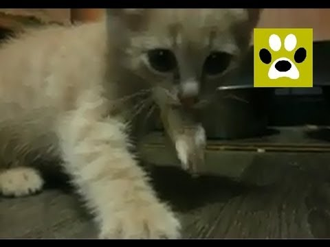 Вася, дай мясо!!!!! || kitten tries meat for the first time!!
